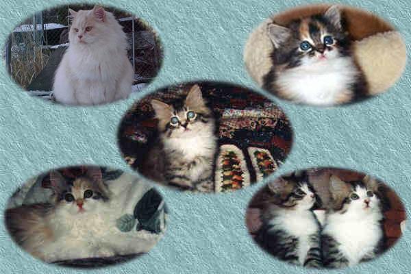 Siberian Cats, Siberian Cat
